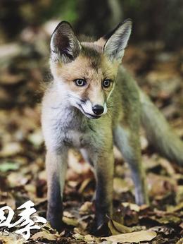 狐狸(饰演)