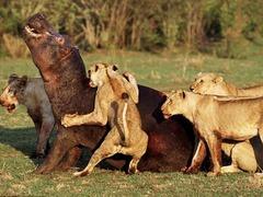 非洲大恶斗